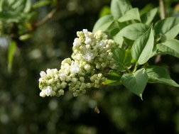 Lilas blanc double