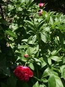 Pivoine herbacée en fleur dans mon jardin de Vendée début mai 2015 - Photo Marie-Sophie Bock-Digne (Kazamarie)