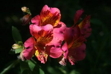 Deuxième lys des Incas roseet jaune