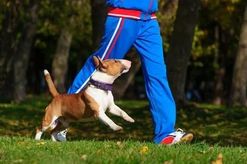 Un pitbull blanc et marron court à côté d'un joggeur
