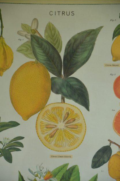 Affiche Citrius, présentant différent types de citron. Imprimé en Corée sur du papier italien. Le cadre n'est pas vendu avec.