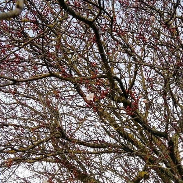 premieres fleurs arbre fevrier semaine 8 2019