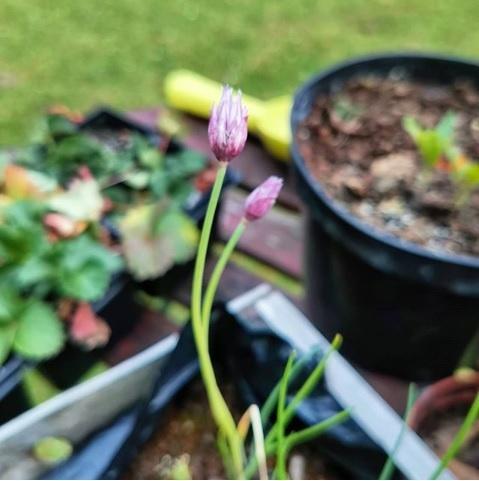 ciboulette fleurs