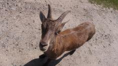 Goat, Omega Wildlife Park
