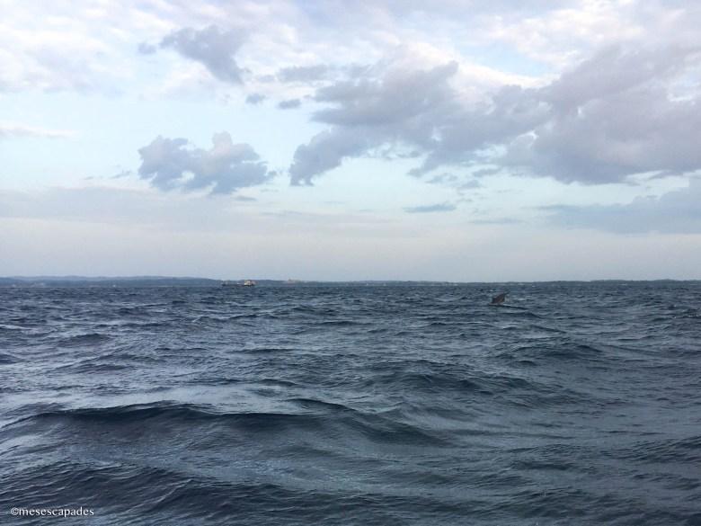 Découvrir les dauphins du Sri Lanka