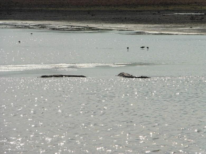 Où voir des crocodiles au Sri Lanka ?