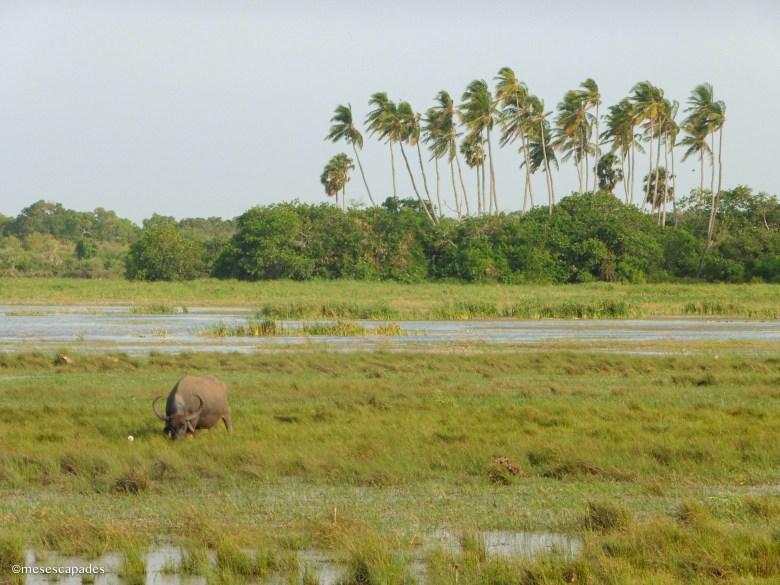 Le meilleur spot pour un safari au Sri Lanka