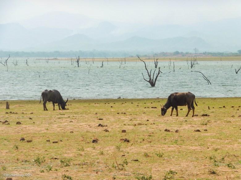 Quel safari faire au Sri Lanka ?