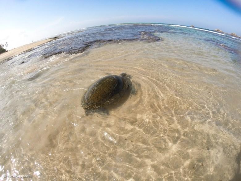 Où voir des tortues de mer au Sri Lanka?