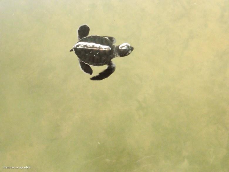 Où voir des tortues bébé au Sri Lanka ?