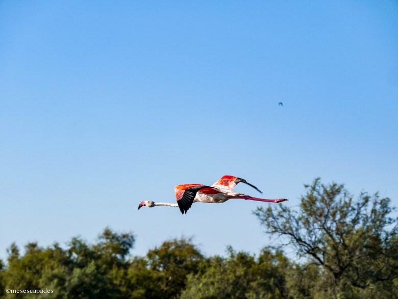 Vol de flamants roses au dessus de la réserve naturelle de Camargue