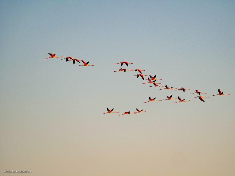 Un magnifique vol de flamants roses au dessus de la réserve naturelle de Camargue