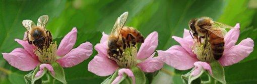 Trois abeilles butinent des fleurs