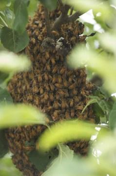 essaim abeilles jardin