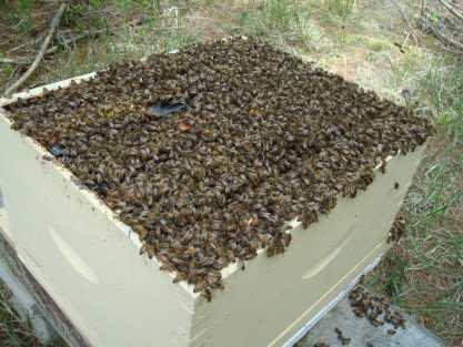 Essaimage ruche