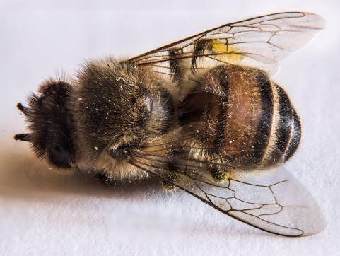 Pesticides abeilles