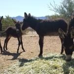 Local Donkey Rescue Returns from Wild Burro Round-up