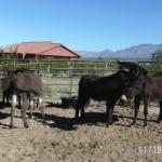 Local donkey rescue serves as transfer point