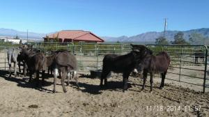 MLN-Donkeys2nov27-14
