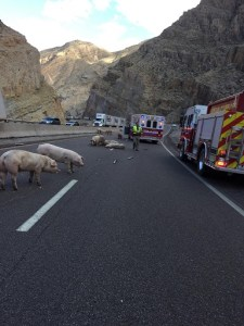 Several agencies, including Beaver Dam Fire and Arizona Department of Transportation, responded to milepost 14 after a semi-truck overturned onto the barrier wall spilling out dozens of pigs, some of which were casualties of the incident. Submitted Photo.