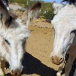 Donkeys in training