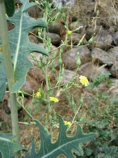 Lactuca serriola (laitue serriole), à ne pas confondre avec le pissenlit