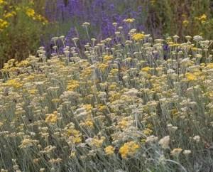 Hélichryse italienne, souveni parfumé mesrecettesnaturelles sur le blog Iris root