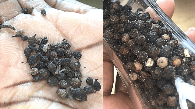 difference between black pepper and uziza seed