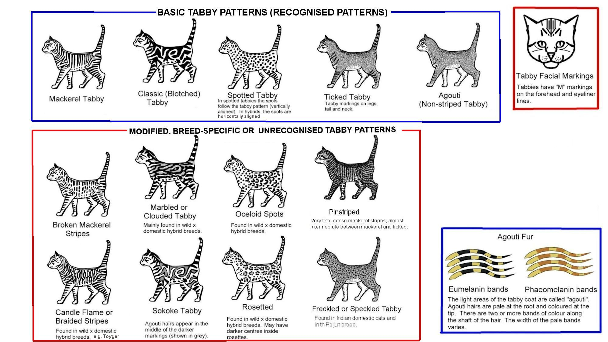 Tabby Patterns And Colors Cats