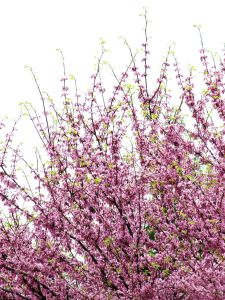 Spring-time tree