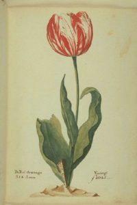 tulipe van der eijck