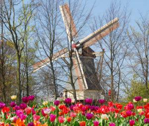 moulin-tulipe