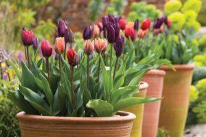 ou planter tulipes
