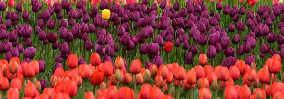 Choisir ses tulipes – Nos conseils sur les différentes variétés de tulipes.