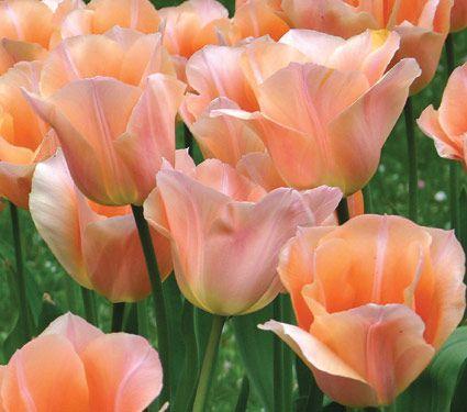 Tulipe Apricot Beauty