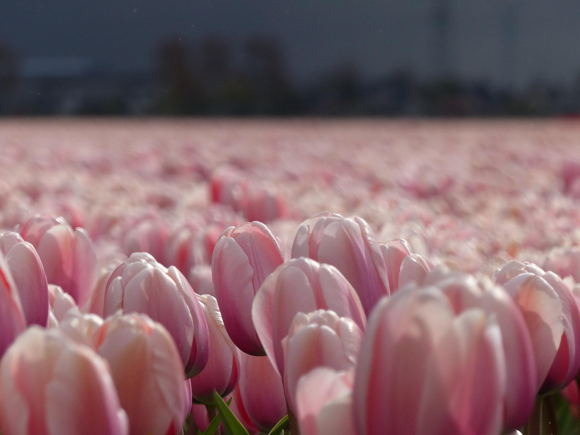 Champs de tulipes à coté des Hotels de Keukenhof