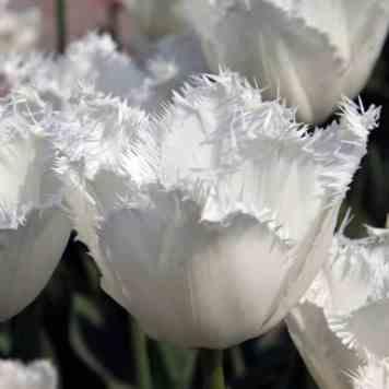 Acheter des bulbes de Tulipe Honeymoon Blanche