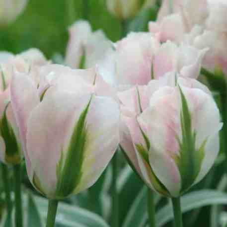 acheter tulipe china town