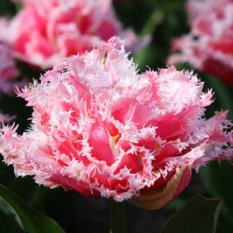 Tulipe frangee Queensland