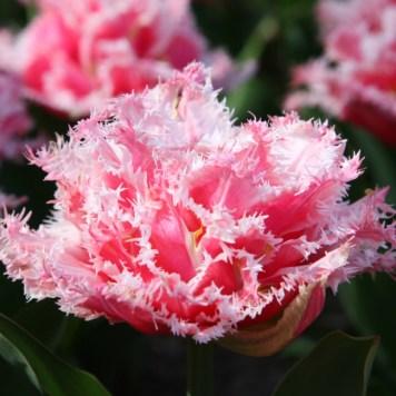 Tulipe Dentelée - Frangée - Ébouriffée pour fleurir le jardin et le balcon