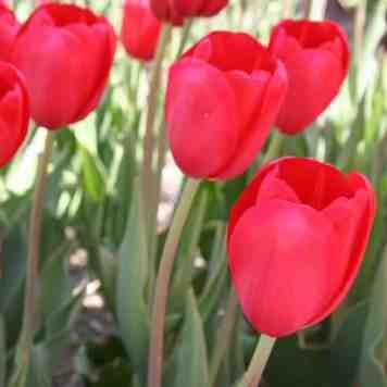 Achat-Vente Tulipe High Sky Scarlet