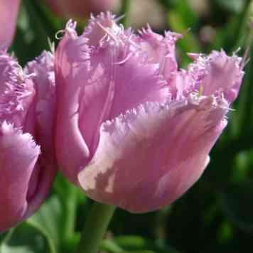 Acheter des Tulipes Lilac Crystal