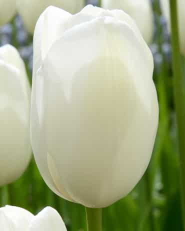 Tulipe Maureen - Simple Tardive blanche