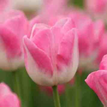 Vente de Tulipe