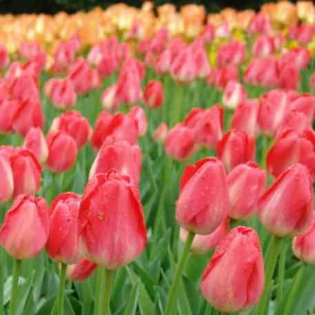 Bulbe de Tulipe Judith Leyster
