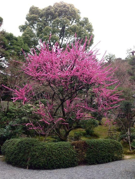 Sakura Ryoanji 13
