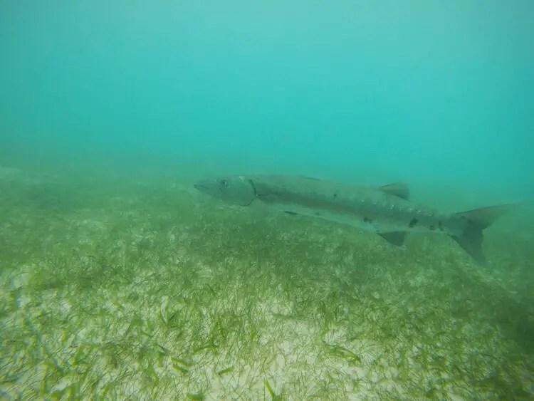 barracuda akumal