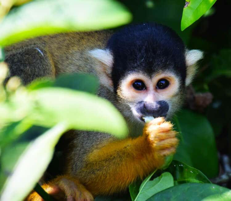 Parc national madidi singe