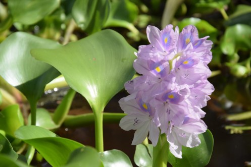 orenoque-fleur-1