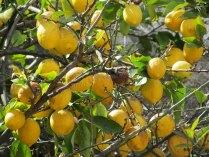 Coimbra - Au hasard des rues, citronnier